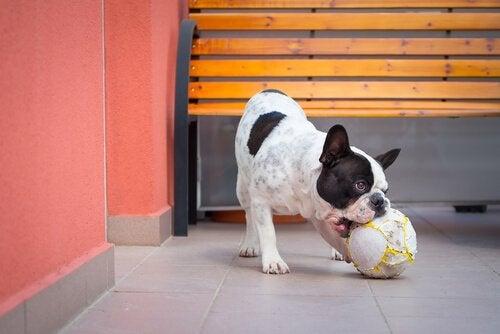 Hund leker med boll
