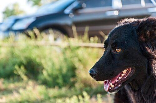 Hund vid bil