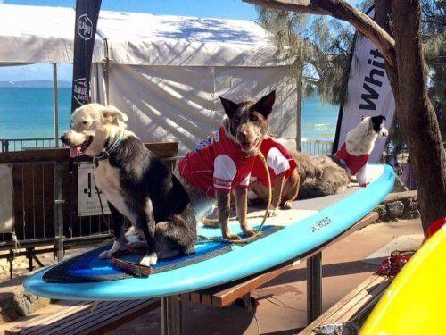 Hundar på surfbräda