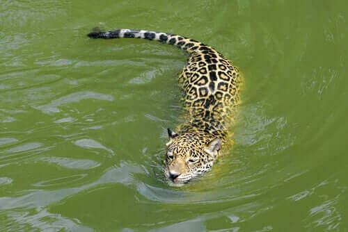 Jaguar simmar i vattendrag.