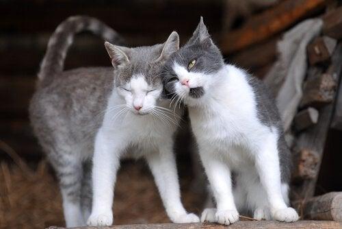 Katter hälsar på varandra