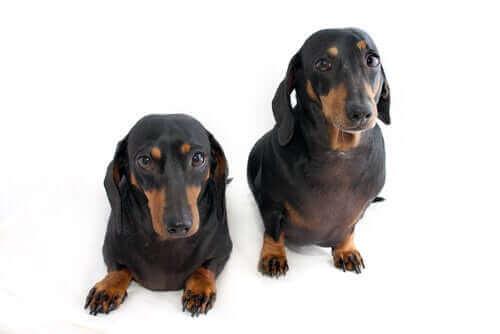 Legaliteten med transgena djur och kloning