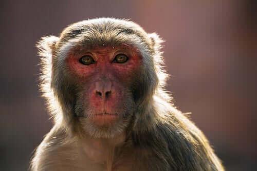 Aktuella händelser: makak-krisen i Indien