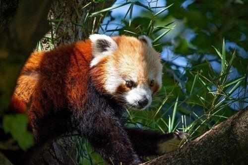 Livsmiljö och beteenden hos den röda pandan