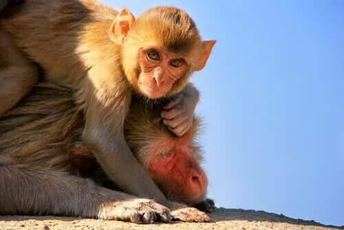Bebis makak på sin mammas rygg.