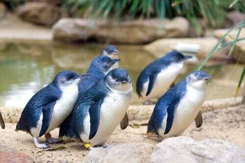 Den unika dvärgpingvinen: den minsta av sin sort