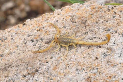 Gul skorpion på sten.