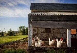 Sju tips för att föda upp höns i stadsområde