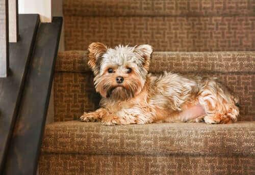 Hund som ligger i trappan.