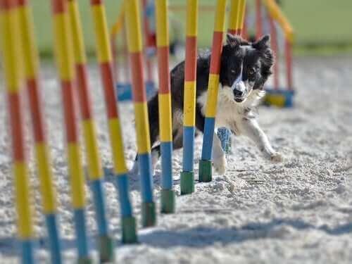 Hund som springer runt pinnar.