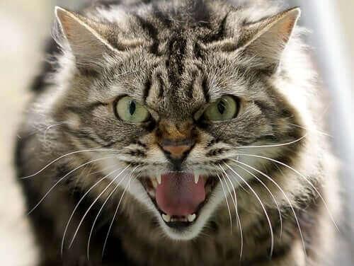 Problem med kattens beteende: typer av aggression