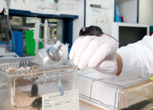 Man använder laboratoriemöss som modeller för människan.