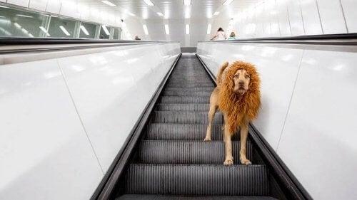 Lejonhunden Tshcikko blev berömd på internet