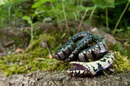 Orm som spelar död.