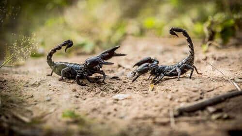 Huruvida skorpioner är farliga – 8 viktiga fakta