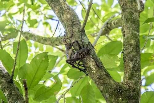 En weta klättrar i ett träd.