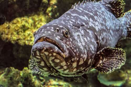 Fakta om goliatgroupern: en jätte i havet