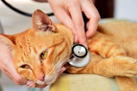 Katt hos veterinären