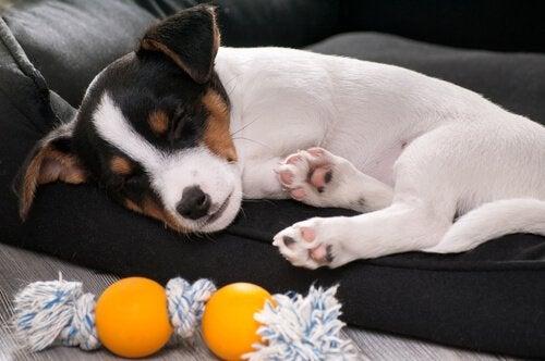 Vad du ska göra om din hund bryter ett ben