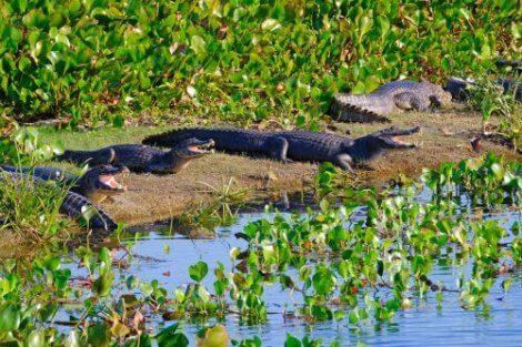 Pantanalkajmaner på flodbank