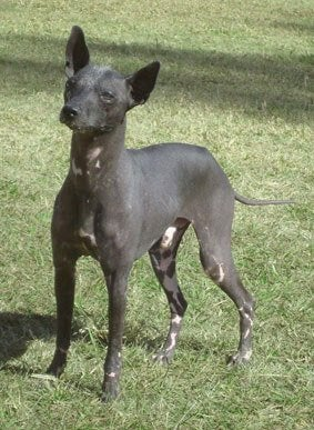Egenskaper hos en argentinsk pila hund.
