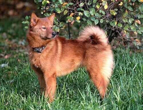 Finsk spetshund.