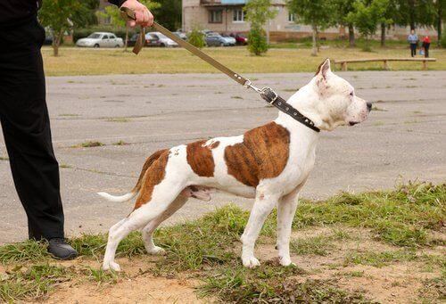Hund med koppel på.