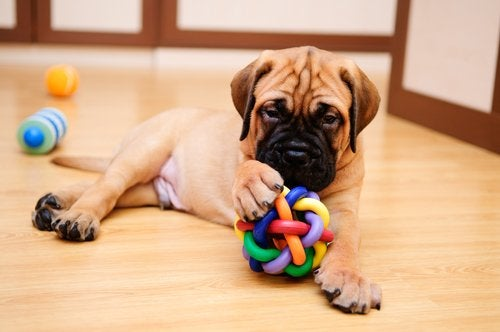 En hund leker med en hundleksak inomhus.