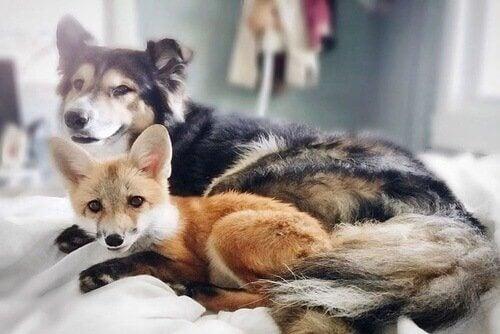 Hund som ligger bredvid räv.