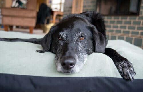 Hund som ligger på säng.