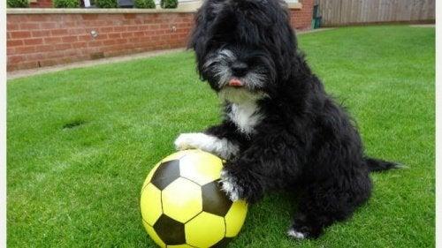 En hund som spelar fotboll: Ronaldog