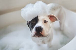 Svartvit hund med skummande schampo på huvudet.