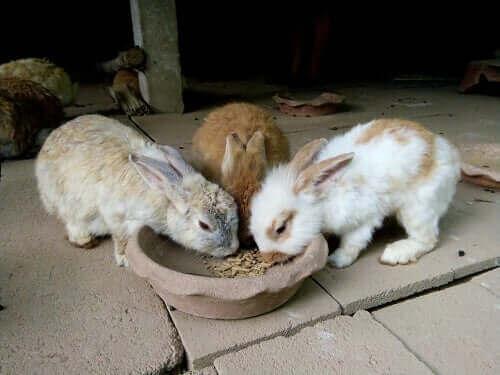 Hur mycket kaniner bör äta och när de bör äta