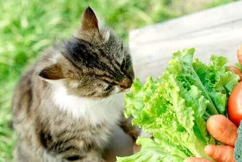 Katt som luktar på sallad.