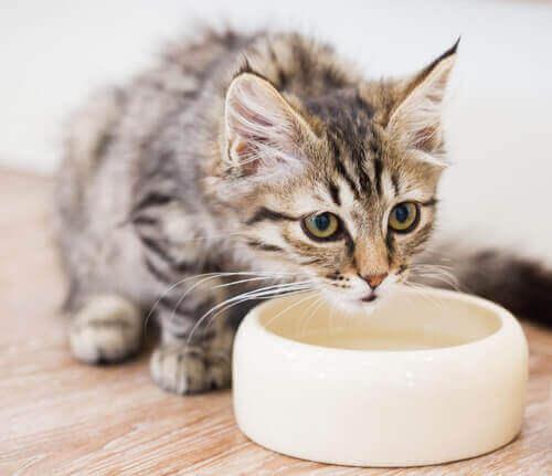Kattunge dricker vatten ur en vattenskål.