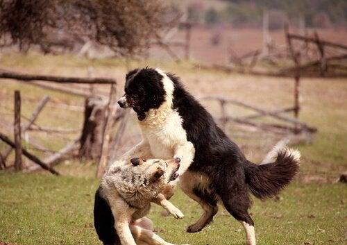 Två hundar i organiserad hundfajt.