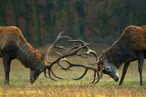 Rådjur som utmanar varandra.