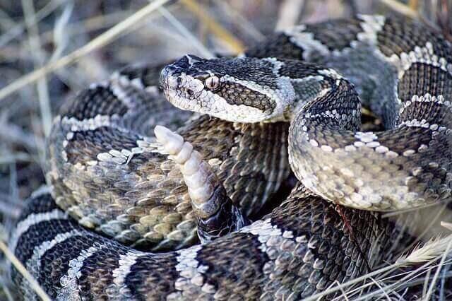 Arter av skallerormar: Ormar i Nordamerika