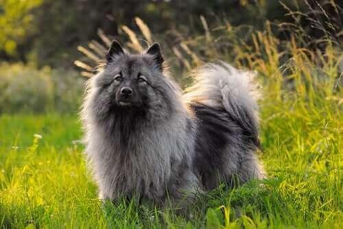 Spetshund i gräset.