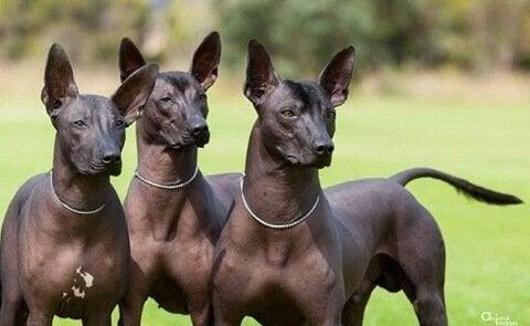 Tre pila hundar är ut eoch leker.