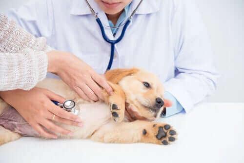 Njursvikt hos hundar: symptom och behandling