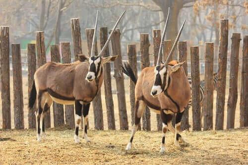 Intressanta fakta om den tibetanska antilopen