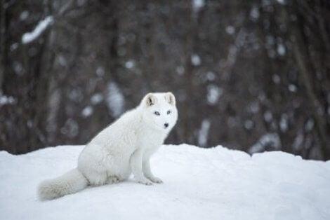 Fjällräven sitter i snön