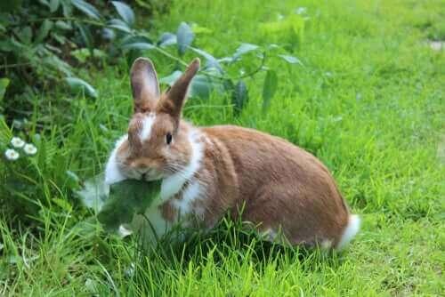 En fri fet kanin äter maskrosblad i det gröna.