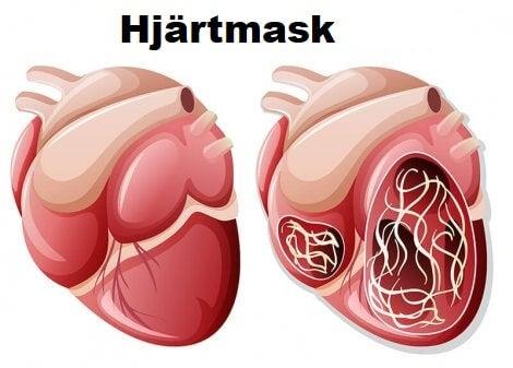 Hjärtmask i hjärtat