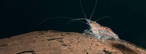 Krill på havsbotten