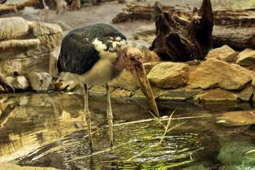 En maraboustork står i en vattenpöl.