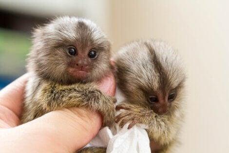 Person håller små apor