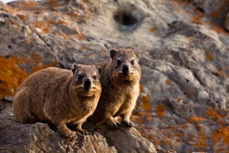 Vaksamma hyraxer på klippa