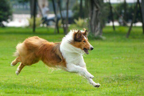 Collie som springer.